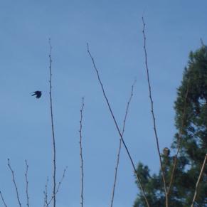 hawk-crow1.jpg