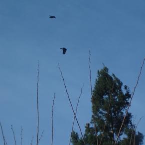 hawk-crow2.jpg