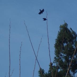 hawk-crow3.jpg
