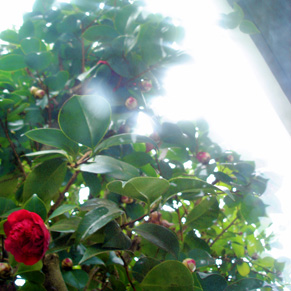 camellias-be-poppin.jpg